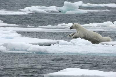 Polar Bear (Ursus Maritimus) Leaping from Sea Ice, Moselbukta, Svalbard, Norway, July 2008