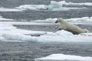 Polar Bear (Ursus Maritimus) Leaping from Sea Ice, Moselbukta, Svalbard, Norway, July 2008 by de la