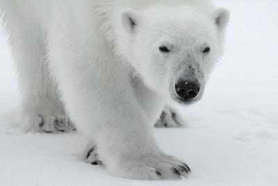 Polar Bear (Ursus Maritimus) Portrait, Svalbard, Norway, July 2008