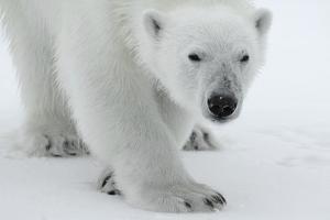 Polar Bear (Ursus Maritimus) Portrait, Svalbard, Norway, July 2008 by de la