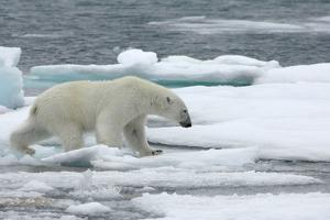 Polar Bear (Ursus Maritimus) Walking over Sea Ice, Moselbukta, Svalbard, Norway, July 2008 by de la