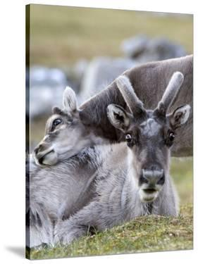 Young Svalbard Reindeer Rubbing its Head on Adults Back, Svalbard, Norway, July by de la