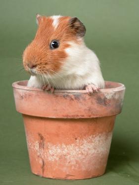 Guinea Pig in Flower Pot by De Meester