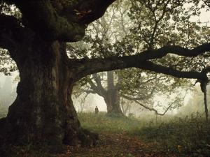 Ancient Trees Dwarf Visitors to Historic Great Birnam Wood by Dean Conger
