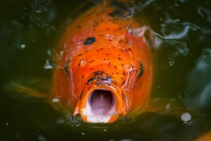Hungry Koi Begging for Food by Dean Fikar