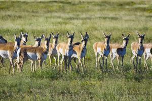 Pronghorn Antelope Herd by Dean Fikar