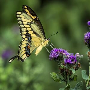 Yellow Swallowtail Butterfly by Dean Fikar