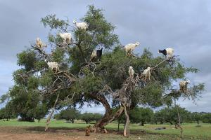 Goats feed on nuts atop of an endemic Argan tree on the outskirts of Marrakesh, Morocco. by Deanne Fitzmaurice