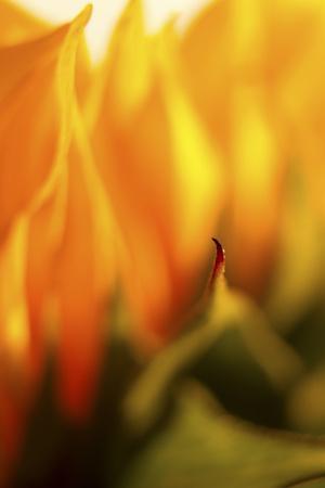 USA, Carmel, Indiana. Macro abstract of a sunflower.