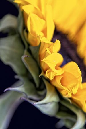 USA, Carmel, Indiana. Side view abstract of a sunflower