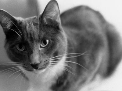 Black and White Image of a Cat by Debra Cohn-Orbach