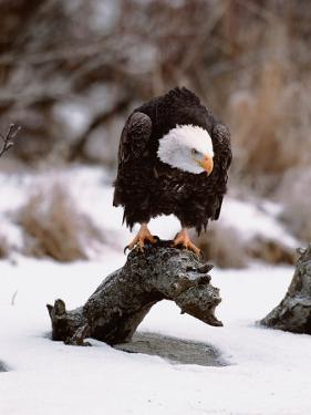 Bald Eagle Preserve, Chilkat, Alaska, USA by Dee Ann Pederson