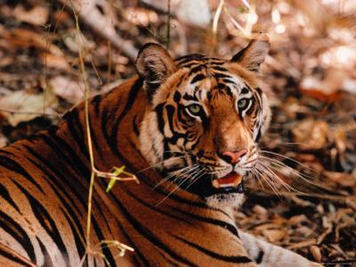 Bengal Tiger in Bandhavgarh National Park, India