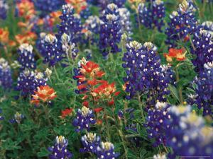Bluebonnets and Paintbrush, Hill Country, Texas, USA by Dee Ann Pederson