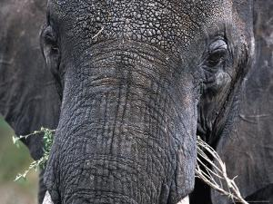 Close-up of African Elephant Trunk, Tanzania by Dee Ann Pederson