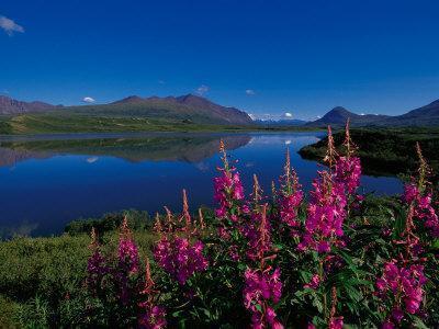Common Fireweed in the Alaska Range, Alaska, USA
