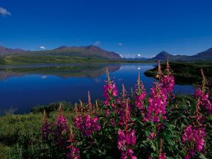 Common Fireweed in the Alaska Range, Alaska, USA by Dee Ann Pederson