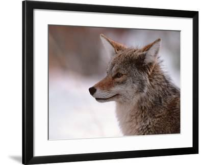 Coyote, Grand Teton National Park, Wyoming, USA
