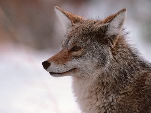 Coyote, Grand Teton National Park, Wyoming, USA by Dee Ann Pederson