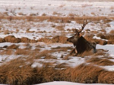 Elk at Jackson Hole, National Elk Refuge, Wyoming, USA