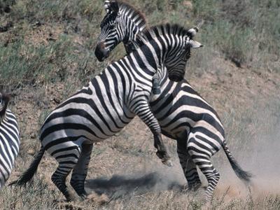 Fighting Burchell's Zebra, Serengeti, Tanzania