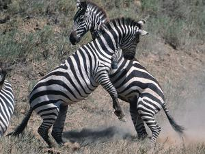 Fighting Burchell's Zebra, Serengeti, Tanzania by Dee Ann Pederson
