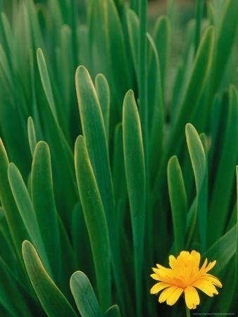 Flower Groundsel, Alaska, USA