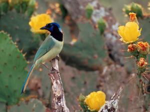 Green Jay, Texas, USA by Dee Ann Pederson