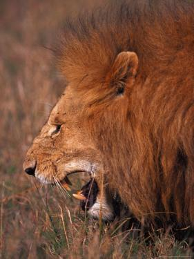 Male Lion, Masai Mara, Kenya by Dee Ann Pederson