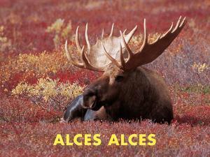 Moose (Alces Alces) by Dee Ann Pederson