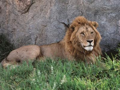 Portrait of Male African Lion, Tanzania