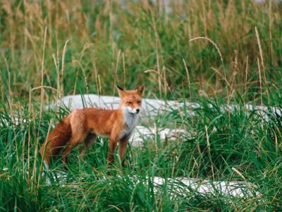 Red Fox, Alaska Peninsula, Alaska, USA
