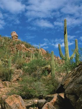 Saguaro Cactus in Sonoran Desert, Saguaro National Park, Arizona, USA by Dee Ann Pederson
