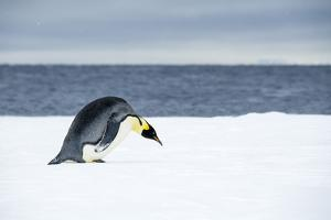 Snow Hill Island, Antarctic. Emperor Penguin about to toboggan. by Dee Ann Pederson
