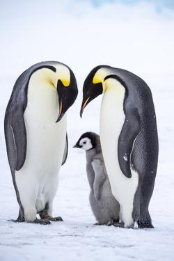 Snow Hill Island, Antarctica. A proud pair of emperor penguins nestling and bonding by Dee Ann Pederson