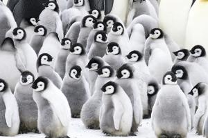 Snow Hill Island, Antarctica. Creches of juvenile emperor penguins huddling together. by Dee Ann Pederson