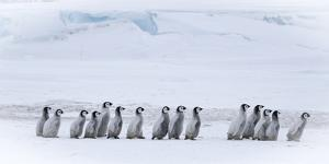 Snow Hill Island, Antarctica. Emperor penguin chicks dare to adventure away from the colony. by Dee Ann Pederson