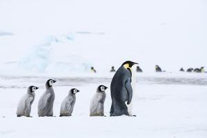 Snow Hill Island, Antarctica. Emperor penguin chicks follow the leader. by Dee Ann Pederson