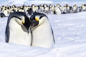 Snow Hill Island, Antarctica. Emperor penguin couple close-up with colony in background. by Dee Ann Pederson
