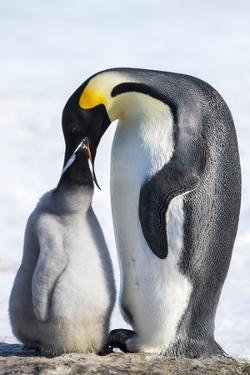 Snow Hill Island, Antarctica. Emperor penguin parent feeding chick. by Dee Ann Pederson