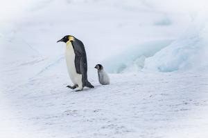 Snow Hill Island, Antarctica. Emperor penguin parent out for a walk with tiny chick. by Dee Ann Pederson