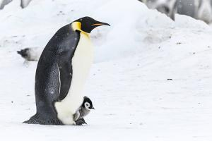 Snow Hill Island, Antarctica. Emperor penguin parent walking with chick on feet. by Dee Ann Pederson