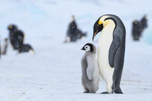 Snow Hill Island, Antarctica. Emperor penguin parent with juvenile. by Dee Ann Pederson