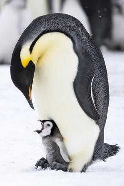 Snow Hill Island, Antarctica. Emperor penguin parent with tiny chick on feet begging. by Dee Ann Pederson