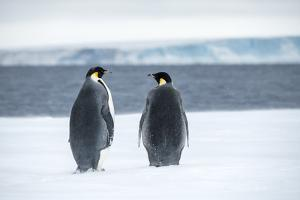 Snow Hill Island, Antarctica. Two adult Emperor penguins have traveled to fish. by Dee Ann Pederson
