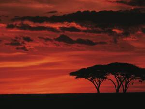 Sunset on Acacia Tree, Serengeti, Tanzania by Dee Ann Pederson