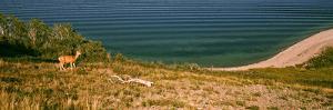 Deer at Waterton Lake, Waterton Lakes National Park, Alberta, Canada