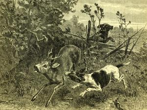 Deer Dog Hunt Austira 1891