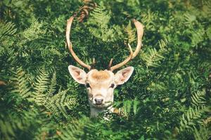 Deer in Bush