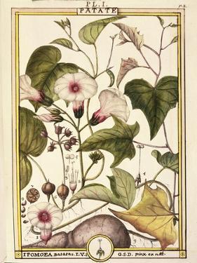 Sweet Potato (Ipomea Batatas), 1789 by Delahaye
